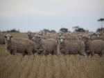 chris-curnow-ewes