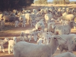 west-wail-dohne-ewes-and-lambs