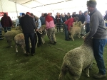 pre-judging-activity-for-the-first-junior-ram-class-in-australian-history-at-bendigo-by-outcross-media