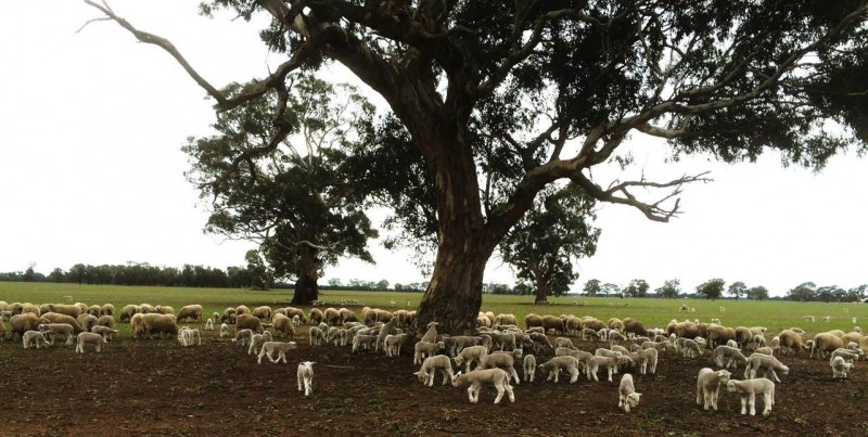 WH ewes and lambs