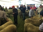 judging-underway-in-the-senior-ram-class-at-bendigo-by-outcross-media