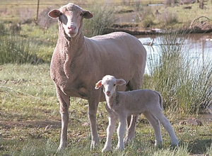 47_ewe and lamb small