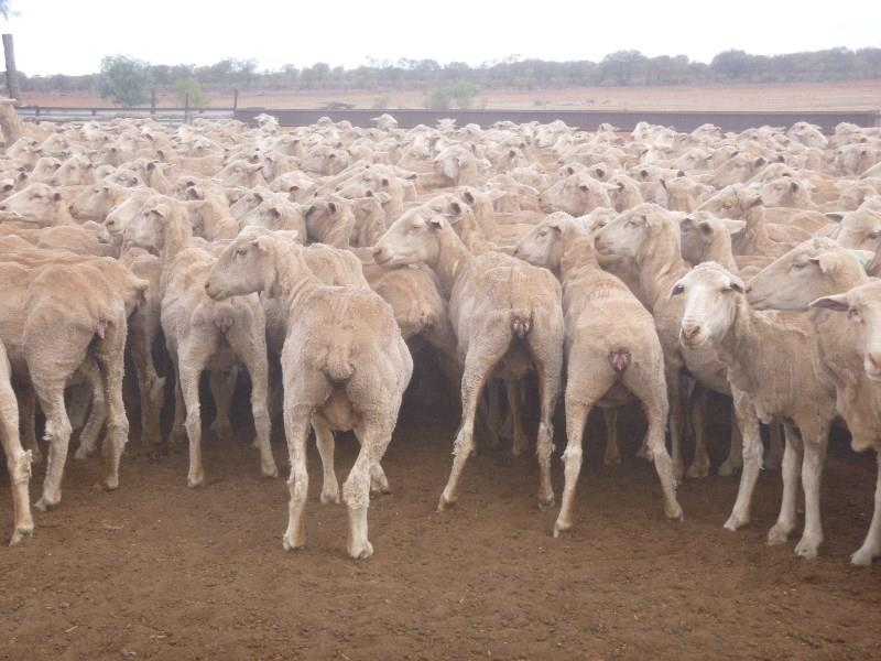 800 Ewes Pabra 8th March 2016