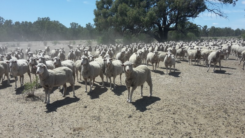 Dohne ewes managed to conception at Balpool station Moulamein