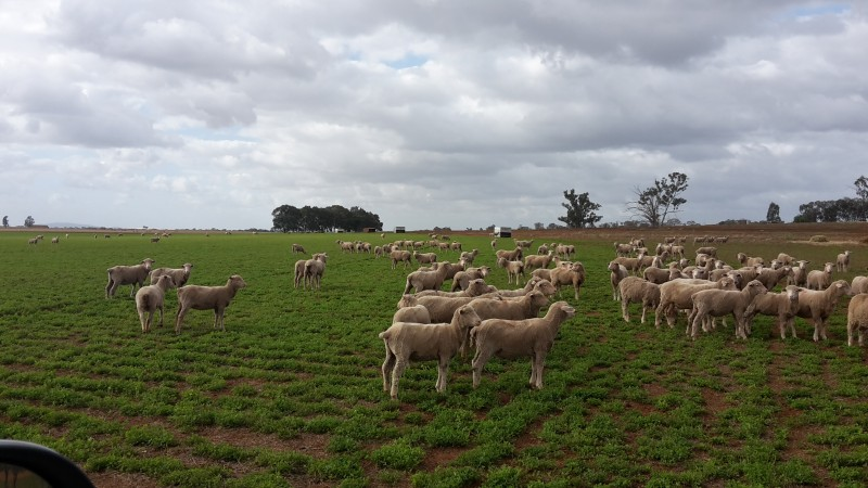 Grown out Dohne lambs on lucerne pasture.