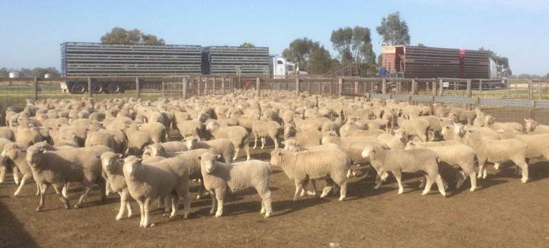 WH sale lambs