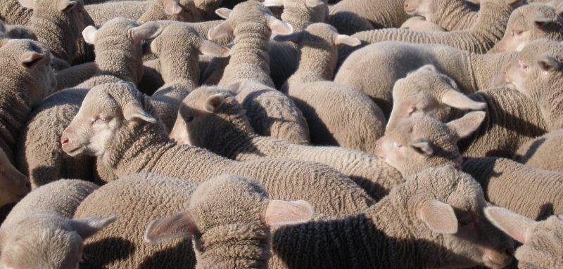 Reproductive Performance Plus In South Australia Australian Dohne Breeders Association